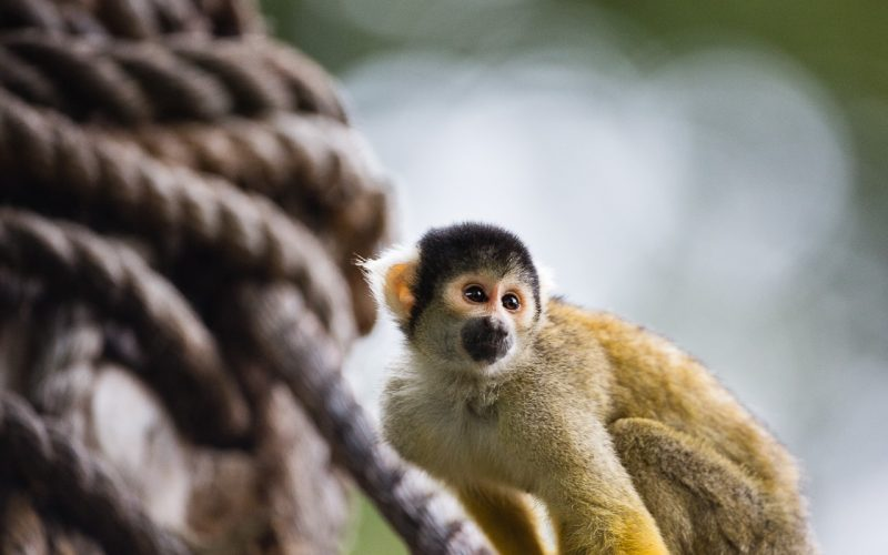 Squirrel-monkey-London-Zoo-@ZSL